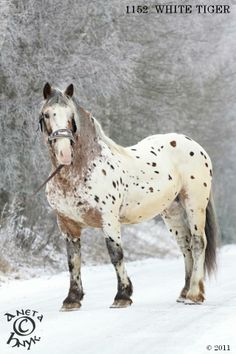 Noriker stallion White Tiger