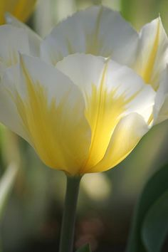 ~~Soft Glow ~ Tulip By Living Color Photography Lorraine Lynch~~