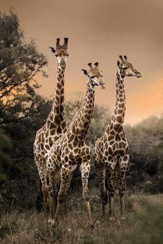 Giraffes three giraff