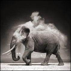 Nick BRANDT :: Elephant in cloud of dust, 2011
