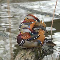 Mandarin ducks.
