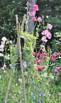 sweetpea, yard, cottag garden, interior garden, cottage gardens