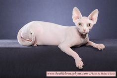 www.beeblebroxsphynx.com    This show photo of a Beeblebrox kitty (affectionately known as BeeblebButts) sphynx (hairless cat) was taken by Helmi Flick. Beeblebrox Sphynx Cattery breeds and sometimes has some kittens available for adoption.    https://www.facebook.com/beeblebroxsphynx