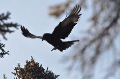 Animal Spirit Guides: The Raven