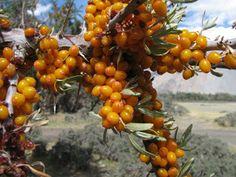 Seaberry / Sea Buckthorn (Hippophae rhamnoides)