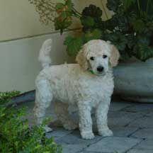 standard poodles, poodl toddler