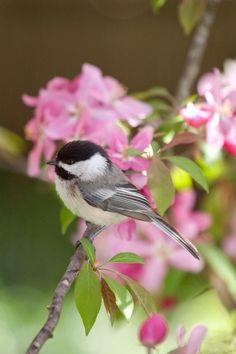 little birds, cap chickade, long island, islands, black cap, flowers, blossoms, dee dee, backyards