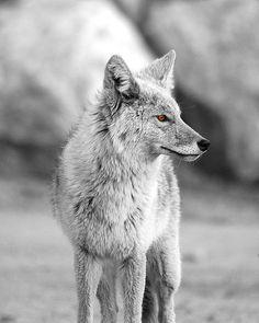 Wolf by Jeremy West, via 500px