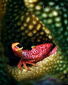 Red-spotted Coral Crab from the Indo-Pacific lives in corals and feeds on their tissue and mucus. In return, it defends the coral from predators, like starfish.