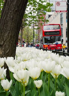 buses, tour bus, luxury travel, white, pearson chicago, tulips, michigan ave