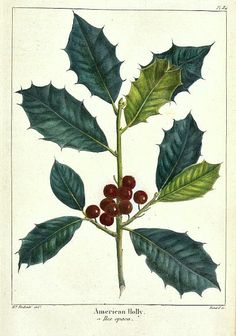 American Holly. Pierre Joseph Redouté    19th C