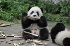 """Sichuan: Pandas Kindergarten ~ A special """"kindergarten"""" was set up at the base for giant panda cubs, and now six cubs born last year lived here.  © Xinhua/Xue Yubin (ry)"""