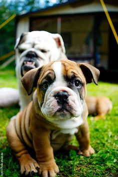 I can't get enough bulldogs