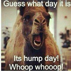 Happier than a Camel on Wednesday!  Happy Hump Day! #BBB