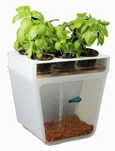 Home Aquaponics Garden- A Beautifully Simple & Closed-Loop Ecosystem Right on Your Table.