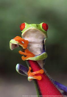 Red-eyed Green Leaf Frog