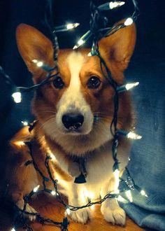 Christmas Corgi... wonder if I can get my dogs like this?
