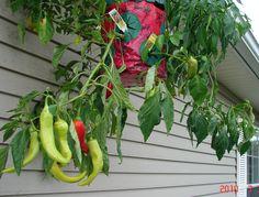 My Topsy Turvy Pepper Planter.
