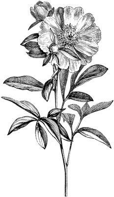 **FREE ViNTaGE DiGiTaL STaMPS**: Free Vintage Digital Stamp - Garden Flower