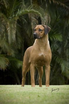 ☀Rhodesian Ridgeback by Johnny Fotoanimal*