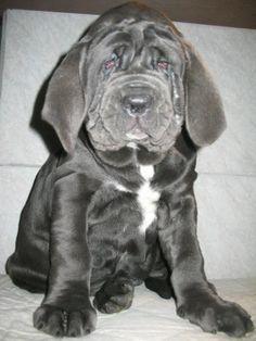 Mastiff Puppy!!