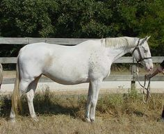 Thoroughbred mare, S