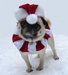 Christmas Santa Pug Costume (Our Bailey Puggins)