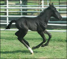 For Sale - COLLECTOR'S BLACK MAGIC #pend. - Beautiful black TWH colt sired by Collector's Go Boy out of Senator's Miss Ebony.  DOB: 6-14-2013.  Incredible old time bloodlines in a stunning jet black package with long back legs and plenty of over stride.  Future flat shod show and trail prospect.  Definitely a forever family kind of guy.  Priced at $2500 until weaning.  Horse is located in Tennessee. Overseas transport can be arranged.  http://www.bluehavenfarms.com/CollectorsBlackMagic.htm