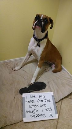 I'm a naughty girl. Mommy thought I was sleeping under her bed, but I was destroying her flip flop.