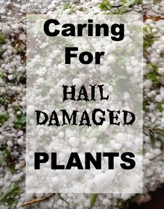 Caring for Hail Damaged Plants