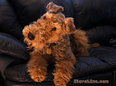 someday, i wish to adopt an airedale terrier  and name him Aberforth. He would need a collar with a pocketwatch. Annabelle thinks he sounds like a great friend.