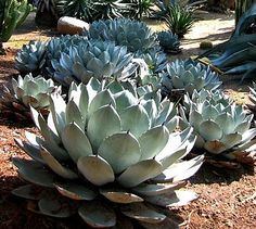 Artichoke Agave parryi. 10 seeds, handsome cold hardy succulent, zones 5 to 11, great container plant