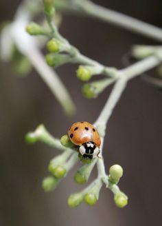 Good luck symbols:  If a ladybug lands on you, it's considered good luck. Killing one, however, is said to be bad luck.