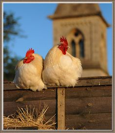 church's chickens