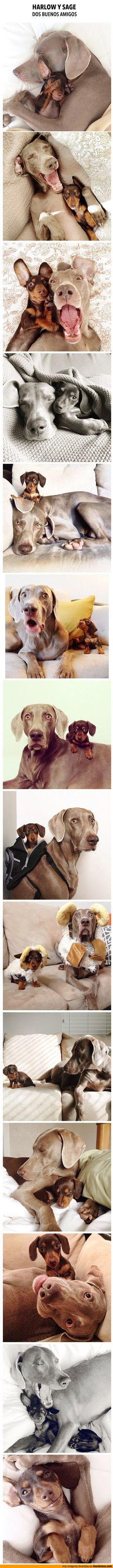 Harlow y Sage, dos buenos amigos. backpacks, anim, cutest dogs, dachshund, pet, puppi, friend, little dogs, big dogs
