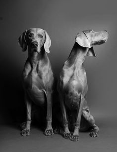 twin, dog photograph, mccartney dog, mccartney photographi, person dog, weimaraner dogs