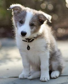 i want another border collie:)