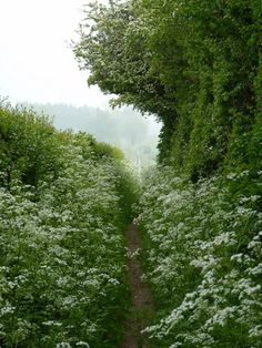 Cow Parsley, England.