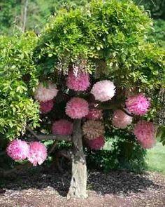 Pompones Flores De Papel De Seda 15 Cm Kit Armado!! - $ 7,00