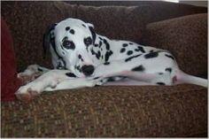 i love my dalmatian too