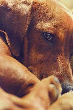 dachshund stuff, doxi, puppi, dog, anim portrait