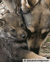 Protect American Wolves at The Rainforest Site