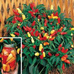 Sweet Pickle Pepper Seeds