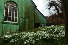 Snowdrops at Lordshill Chapel, Snailbeach, Shropshire. Photograph: pippi77
