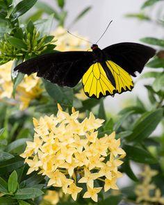 Golden Birdwing Butterfly (Troides aeacus)