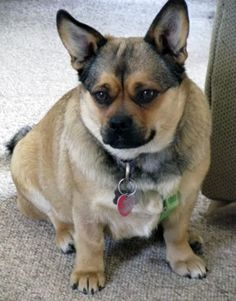 Corgi and Pug Mixed Breed