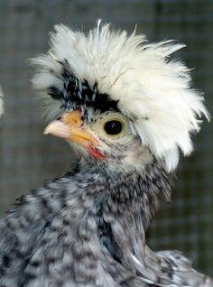 WC blue cuckoo frizzle chick - Polish Breeders Club