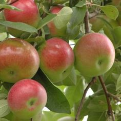 Find the Right Apple Tree for You | Reader's Digest