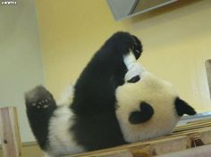 Caption This: ______  #panda #baby #captionthis