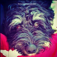 Bernedoodle puppy eyes!!! Love me!!! puppi eye, bernedoodl puppi, ador puppi, puppy eyes